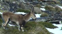 Spanish Ibex Ram Walking Rapidly Down Hill Stops And Looks