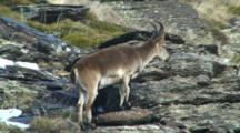 Spanish Ibex Young Ram Looks Around Walks Across Rocks And Exits