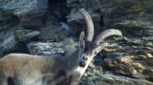 Spanish Ibex Ram Watching Nervously