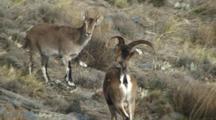 Spanish Ibex Ram Courting Ewe Rejecting Advance