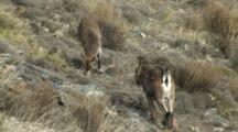 Spanish Ibex Ram Courting Ewe Feeds