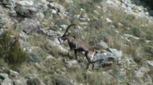 Spanish Ibex Large Ram Climbing Through Rocks