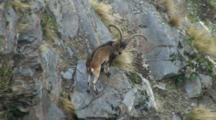 Spanish Ibex Large Ram In Cliffs