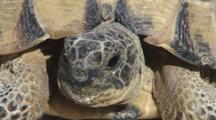 Spur-Thighed Tortoise Closeup Front View