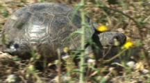 Spur-Thighed Tortoise Walking Fast Side View