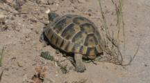 Spur-Thighed Tortoise Walking Slow Rear View