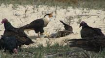 Turkey Vultures And Northern Caracara Interacting Around Pelican Carcass