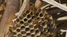 Asian Paper Wasp Cooling Nest By Beating Wings Others Check Cells