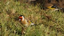 Goldfinch Flock Feeding On Seeds In Pasture
