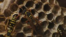 Asian Paper Wasp Nest Closeup Small Group Checking Cells And Interacting