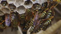 Asian Paper Wasp Nest Closeup Tight Group Resting In Shade At Bottom Of Nest