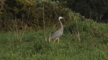 White-Faced Heron Hunting Crickets In Long Grass Exits