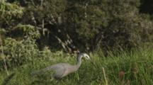 White-Faced Heron Hunting And Catching Crickets In Long Grass Catches Four