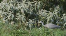 White-Faced Heron Hunting And Catching Crickets In Long Grass