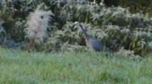 White-Faced Heron Hunting Crickets In Long Grass With Rhythmic Neck Movement Exits