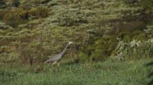 White-Faced Heron Hunting Crickets In Long Grass