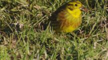 Yellowhammer Feeding On Seeds In Pasture In Morning Sun