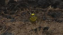 Yellowhammer Feeding On Seeds In Pasture In The Rain