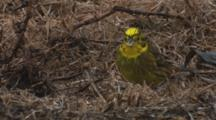 Yellowhammer Feeding On Seeds In Pasture In The Rain Extracting Seeds