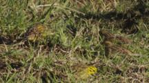 Yellowhammer Small Group Feeding On Seeds In Pasture