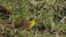 Yellowhammers Feeding On Seeds In Pasture
