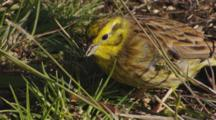 Yellowhammer Feeding On Seeds In Pasture