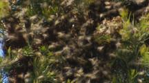 Honey Bee Swarm Forming On Branch