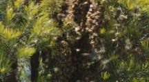 Honey Bee Swarm Forming On Branch Zoom Out