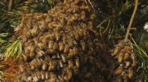 Honey Bee Swarm Closeup
