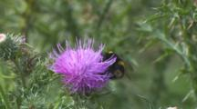 Bumble Bee Feeding On Cotton Thistle Flower