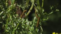 Cinnabar Moth Caterpillars Feeding On Poisonous Ragwort