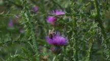 Honeybee Feeding On Cotton Thistle Flower