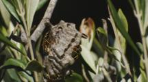 Asian Paper Wasp Nest Side View