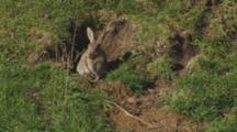 Rabbit Resting At Entrance Enters Burrow