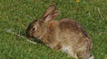 Rabbit Feeding On Short Pasture