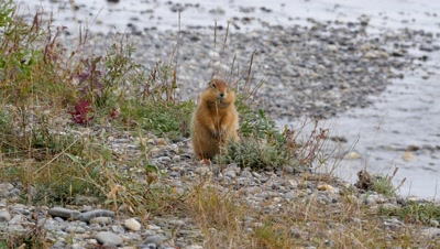 Arctic Ground Squirrel filling cheek pouches,exits