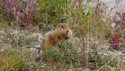 Arctic Ground Squirrel filling cheek pouches.