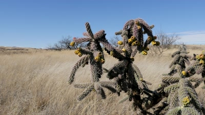 Cholla cactus in fruit including close ups