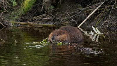 Beaver feeding on willow juvenile approaches