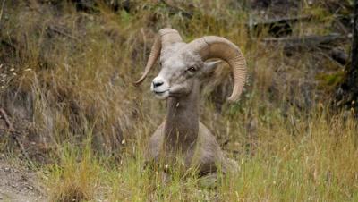 Rocky Mountain Bighorn Sheep,Young Ram resting