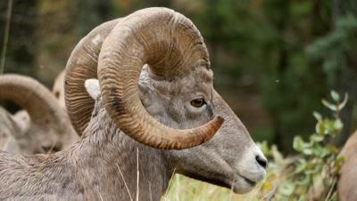 Rocky Mountain Bighorn Sheep,mature ram resting,ruminating.