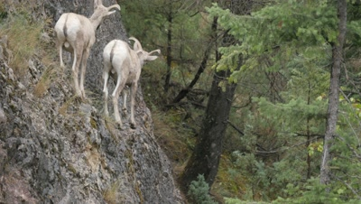 Rocky Mountain Bighorn Sheep,young rams on cliff.