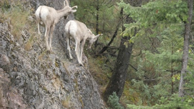 Rocky Mountain Bighorn Sheep,young rams on cliff one jumps down.