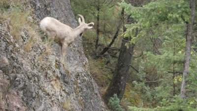 Rocky Mountain Bighorn Sheep,young ram on cliff.