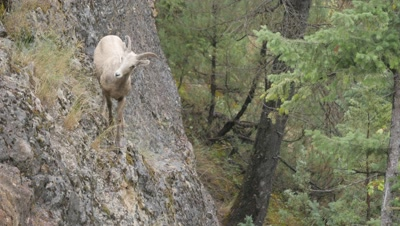 Rocky Mountain Bighorn Sheep,young ram on cliff,jumps down.