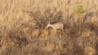 Coues deer doe feeding on Catclaw Acacia seed pods in early morning sun