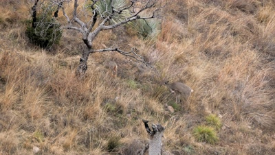 Coues deer doe and fawn feeding