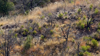 Coues deer two does and a fawn feeding through old burn