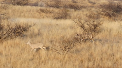 Coues deer buck chases spike off then chases doe