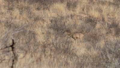 Coues deer doe feeding in heat of day,heat shimmer